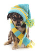 Dog in a cap and scarf.
