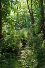 Fougères et ruisseau en forêt méditerranéenne de costa verde en haute Corse