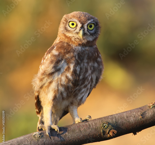 Close up portrait of young little owl isolated on brught blurred background