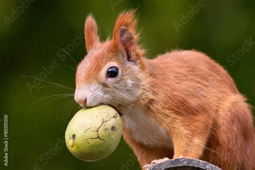 Leinwanddruck Bild Eichhörnchen mit Walnuss