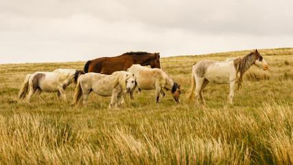 Wild horses on a grey and windy day near Foel Eryr, Clynderwen, Pembrokeshire, Dyfed, Wales, UK