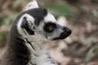 tête de lemur maki catta