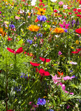 field of summer wild flowers, daisy, poppy, very colourful, yellow, green, blue, red, colours - 185033519