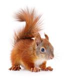 Eurasian red squirrel. - 185038174