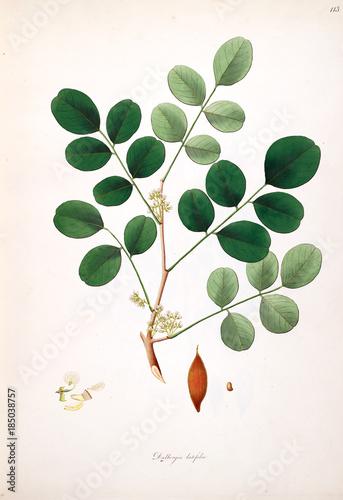 Botanical illustration. - 185038757