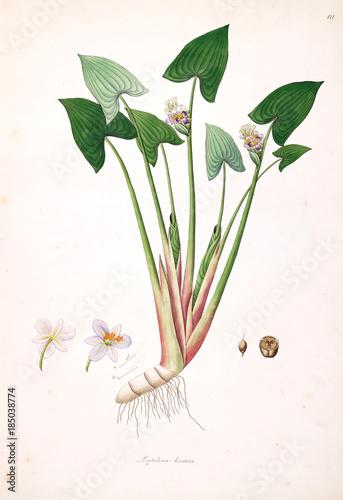 Botanical illustration. - 185038774