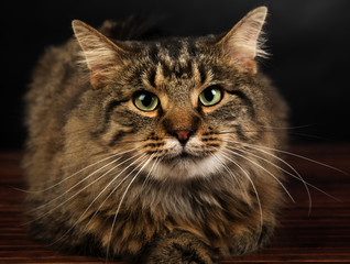 Close-up portrait of a cute long-haired tabby cat lying on a hardfloor looking straight at the camera.