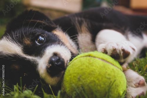 Border Collie Puppy With Tennis Ball Buy Photos Ap Images