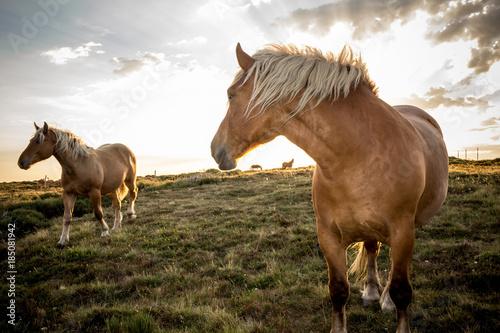 Deux Chevaux ardèche comtois en mouvement robe marron crinière blonde de trait en contre jour vent ciel blanc nuageux au flash dans prairie verte sauvage sagnes et goudoulet