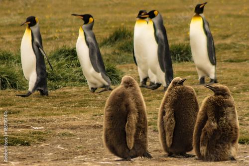 Fotobehang Pinguin Penguin King Park, Strait of Magellan, Chilean Patagonia..