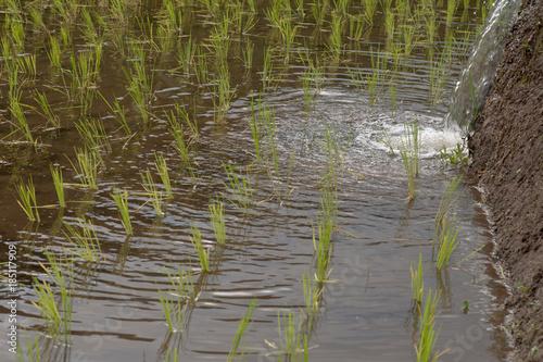 Fotobehang Rijstvelden Rice Field
