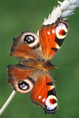 European peacock butterfly, Nymphalis io