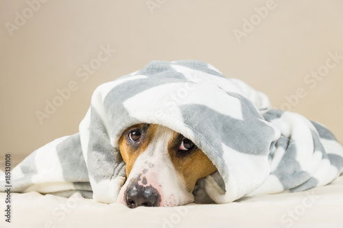 Shy puppy in warm throw blanket rests in bedroom Poster