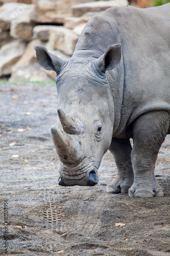 Fotobehang Neushoorn White Rhinoceros At Irish Zoo