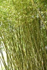 Bambou vert au jardin