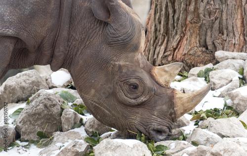 Fotobehang Neushoorn Big rhino in a local city zoo