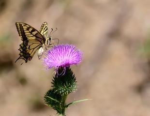 Bitterfly an flower