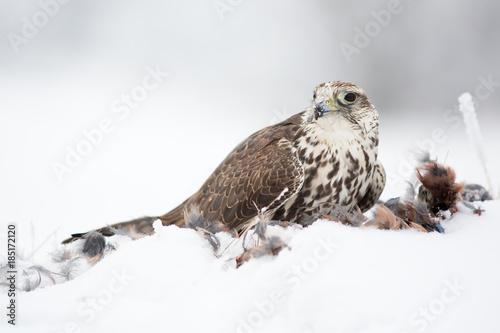 Saker falcon © Milan
