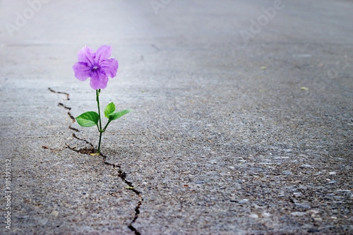 Foto Murales Purple flower growing on crack street, soft focus, blank text