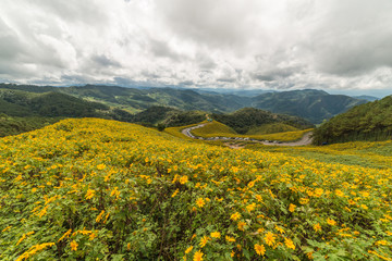 Field of Mexican sunflowers at Doi Mae U Kor of Mae Hong Son, Thailand