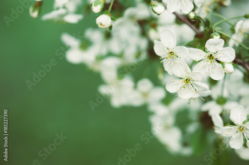 Fotobehang Kersen Blossoming of cherry flowers in spring time with green leaves, floral frame