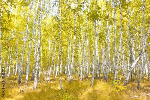 Plexiglas Berkenbos birch forest