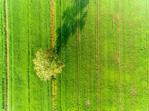 Fotobehang Pistache Big tree in Rice green field pattern from top view