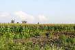 Corn field. Process of growth of corn, it still green also blossoms.