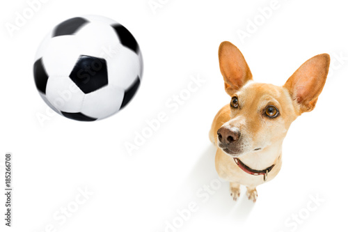 Foto op Plexiglas Crazy dog soccer player dog