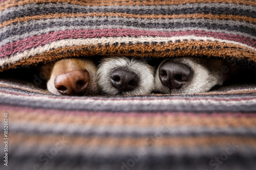 Foto op Plexiglas Crazy dog dogs under blanket together