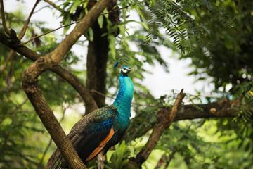 Peacocks of Malaysia