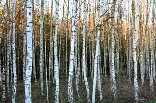 las brzozowy - 185277900