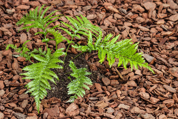 mother spleenwort fern growing in mulched soil with copy space