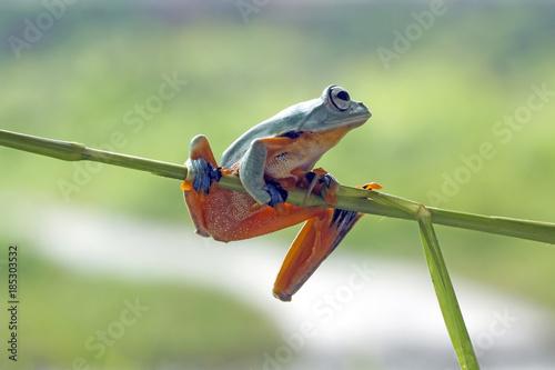 Aluminium Kikker Tree frog, flying frog, Javan tree frog