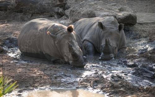 Fotobehang Neushoorn Rhinos cooling in a mud bath