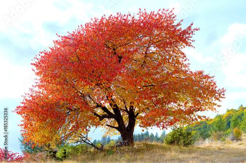 czerwone-drzewo-lisci-jesienia-i-niebieskie-niebo-z-chmurami-na-francuskich-alpach-gorskich