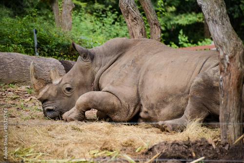 Fotobehang Neushoorn Big white rhinoceros