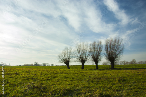 Row of willows on a green meadow - 185360123