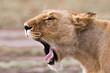 An african Lioness yawning at Masai Mara National Park Kenya