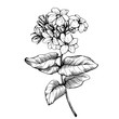 Graphic the branch of Jasmine plant (Jasminum sambac, Arabian jasmine) with flowers and leaves. Black and white outline illustration hand drawn work, isolated on white background.