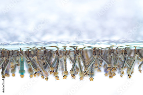 Mosquito larvae in water on white background. - 185371717