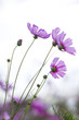 Tiny little purple cosmos flowers in soft morning light and breeze - 185381311