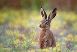 European hare stands in the grass and looking at the camera - 185395998