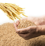 wheat grains in hands  - close up - 185405507