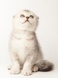 Little scottish fold kitten on white background