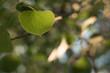 Aspen Leaf Closeup