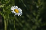 Daisy in Morning Sun