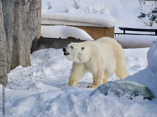 Aluminium Ijsbeer Polar Bear at Asahiyama zoo, Hokkaido, Japan, in winter time.