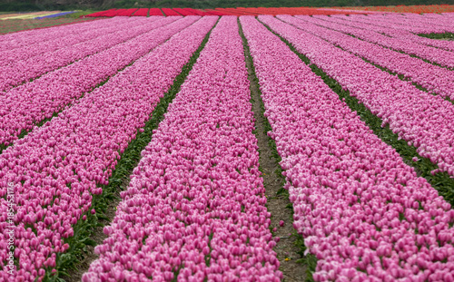 Fotobehang Candy roze Pink Tulips fields of the Bollenstreek, South Holland, Netherlands