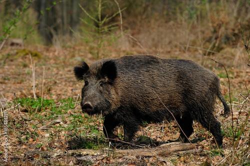 Leinwanddruck Bild Schwarzwild, Bache im Wald, April